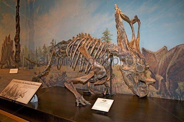 esqueleto-chasmosaurus-museo