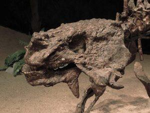 craneo del Scutosaurus