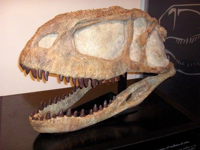 Cráneo descubierto del Abelisaurus