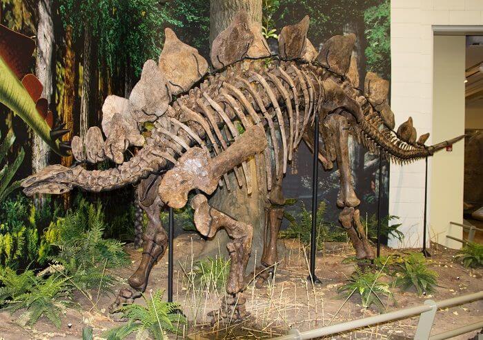 Reconstrucción de un Stegosaurus