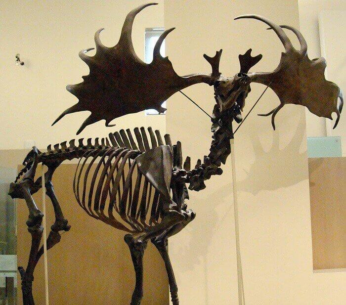 Reconstrucción de un Megaloceros
