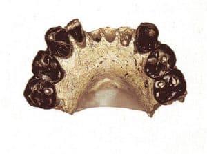 dentadura de australopithecus bahrelghazali