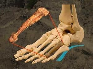 australopithecus tiene el hueso del pie arqueado