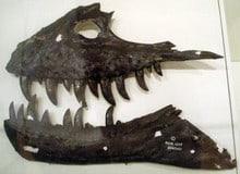 gorgosaurus - mandibula