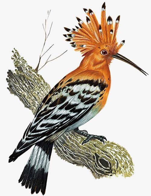 Longirostravis - ave prehistorica